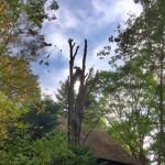 大きなハルニレの伐採
